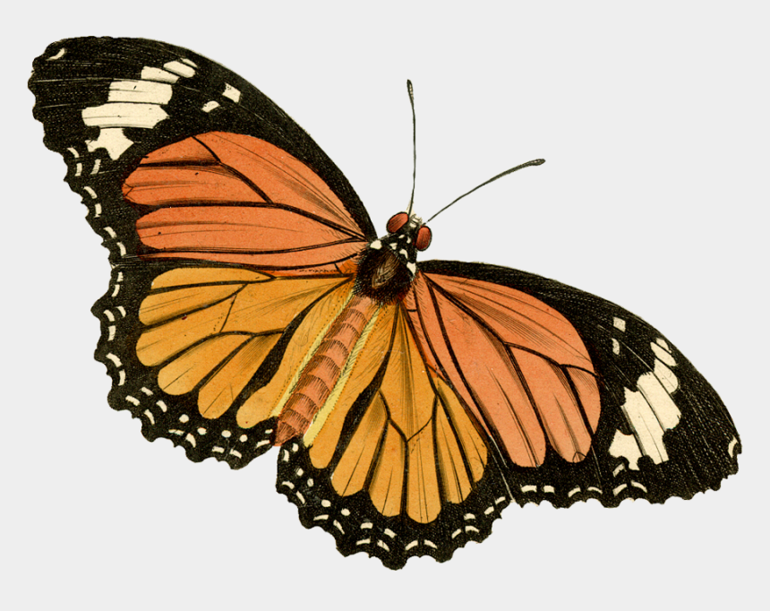 painted lady butterfly clip art, Cartoons - Monarch Butterfly Clipart Painted Lady Butterfly - Painted Lady Butterfly Drawing