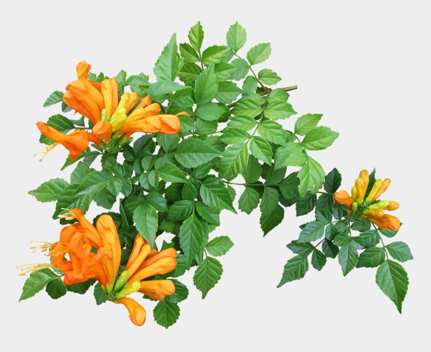 creeper clip art, Cartoons - Flower, Creeper, Plant, Garden - Flower Creeper Plant Png