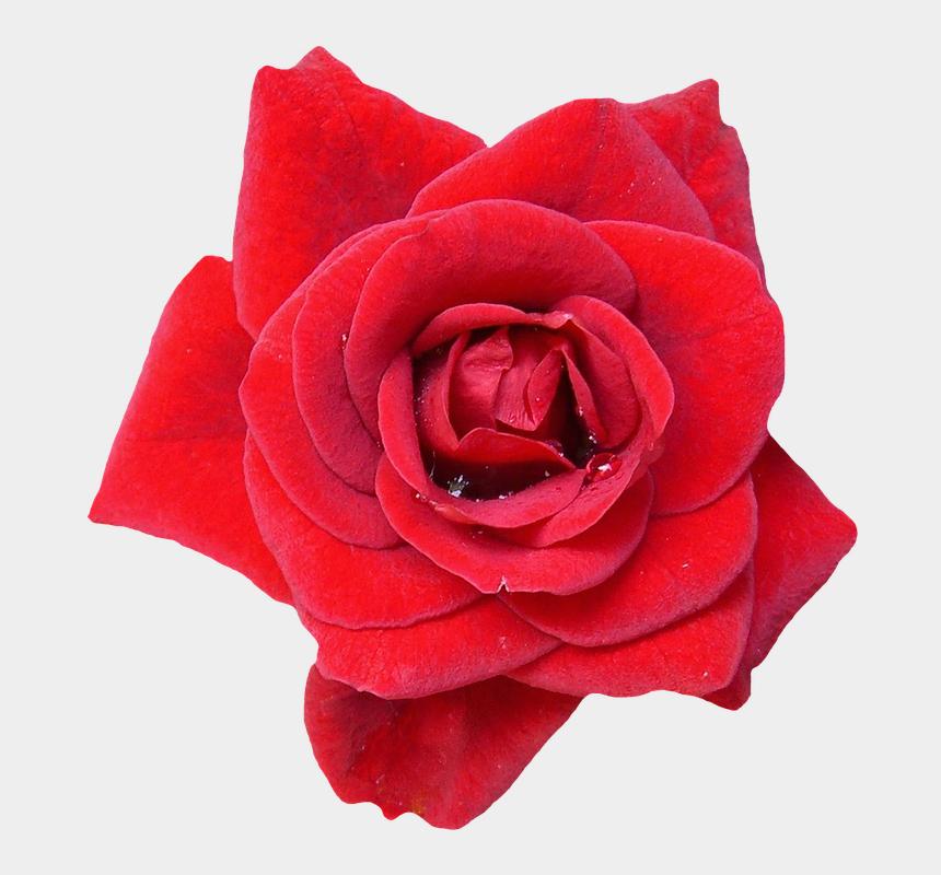 rose garland clip art, Cartoons - Imagens Da Planta Rosa