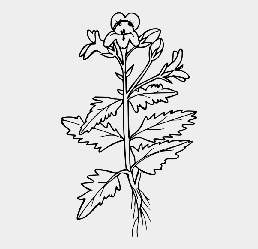 mustard tree clip art, Cartoons - Botany,plant,flower - Mustard Plant Clipart Black And White