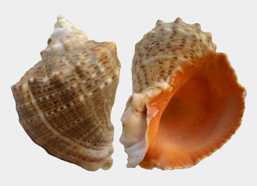 conch shell clipart, Cartoons - Rapana Shell Png Clip Art - Рапаны Пнг
