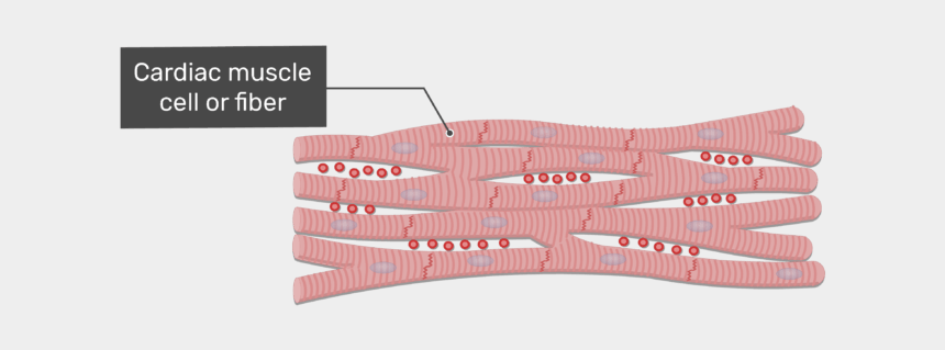 human heart clipart labeled, Cartoons - Labelled Image Of The Cardiac Muscle Cell Of Fiber - Cardiac Muscle Tissue Fibers
