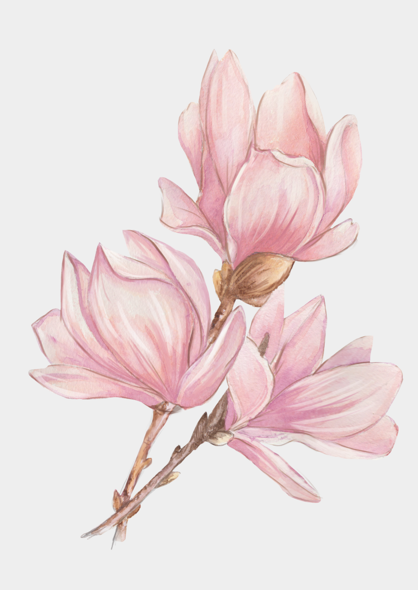 magnolia flower drawing clipart, Cartoons - Watercolor Painting