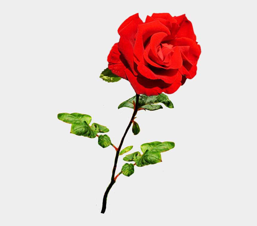 gardenia clipart, Cartoons - Beautiful Valentine Rose, Valentine Red Rose On Stalk - Valentine Images Red Rose