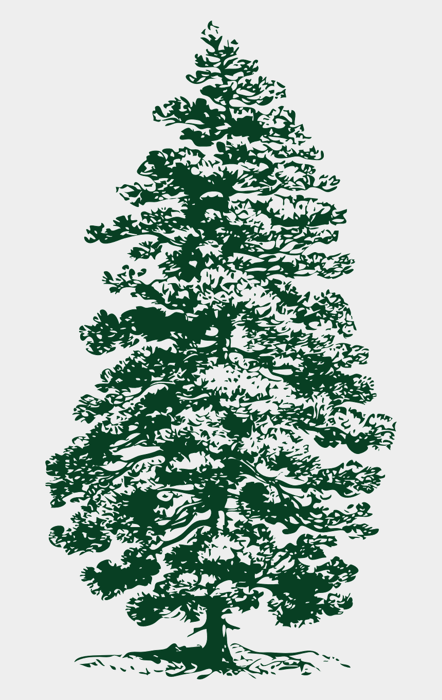 evergreen tree clipart black and white, Cartoons - Pine Drawing Conifer Tree - Redwood Forest Carbon Cycle