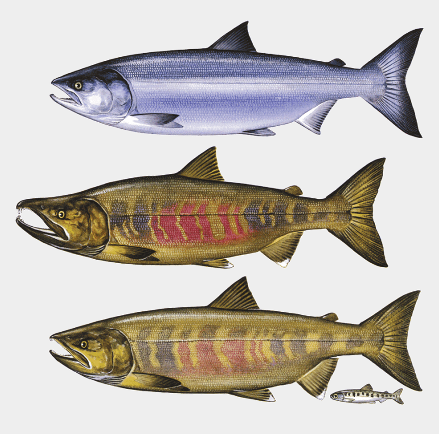 salmon clipart, Cartoons - Fish Jumping Out Of Water Png - Chum Salmon Png