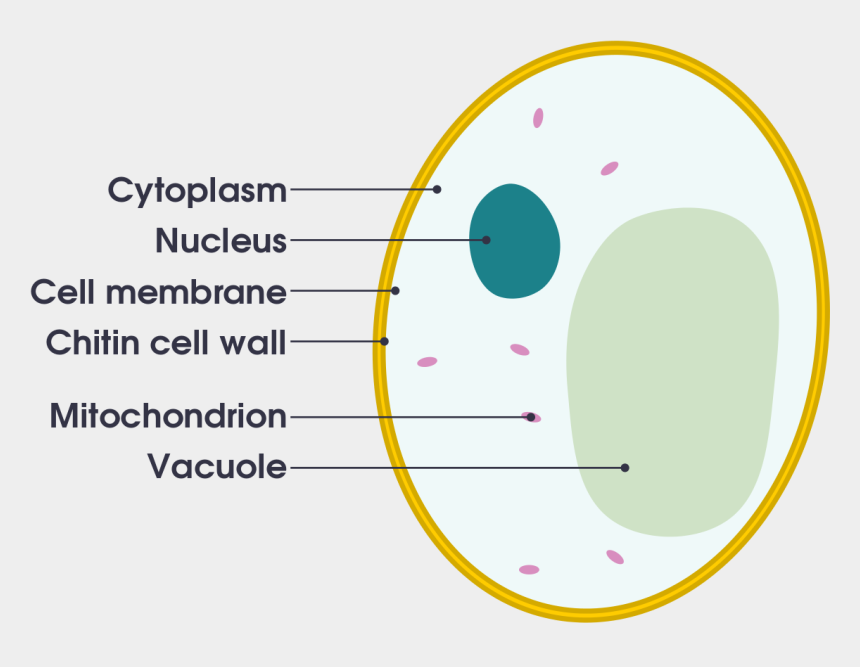 vacuole clipart, Cartoons - Intracellular Vs Extracellular Fluids - Yeast Cell Labelled Diagram