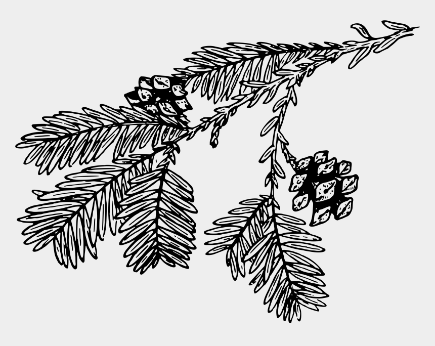 redwood tree clipart, Cartoons - Spruce Tree Coast Redwood Branch Redwoods - Pine Branch Black And White Png