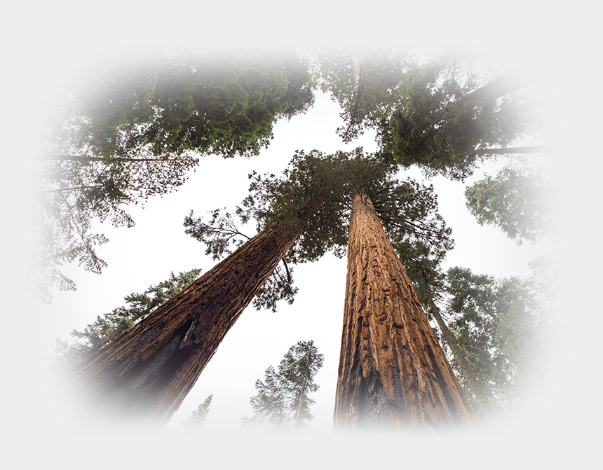 redwood tree clipart, Cartoons - Redwood Tree Png - Winter Aid