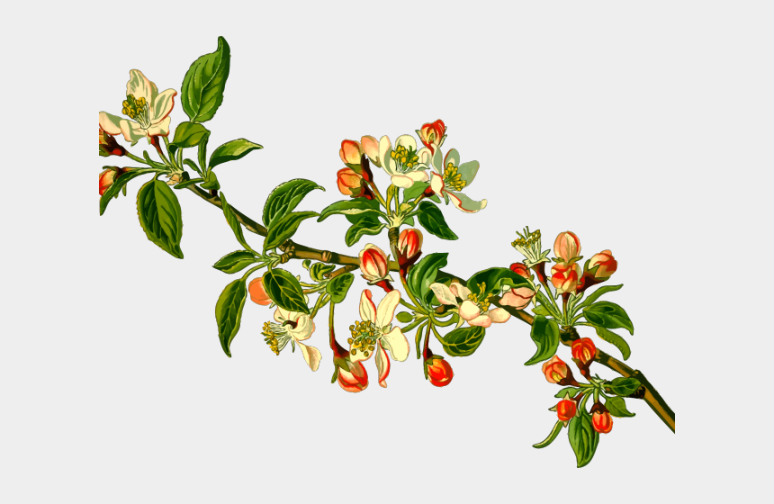 apple seeds clipart, Cartoons - Branch Clipart Apple Tree - Kind Of Trees Are Safe For Budgies