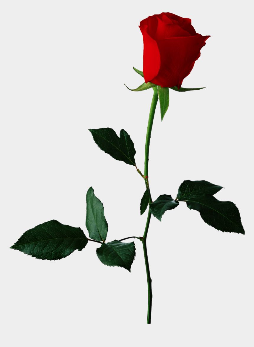 rose clipart png, Cartoons - Image - Single Rose Transparent Background