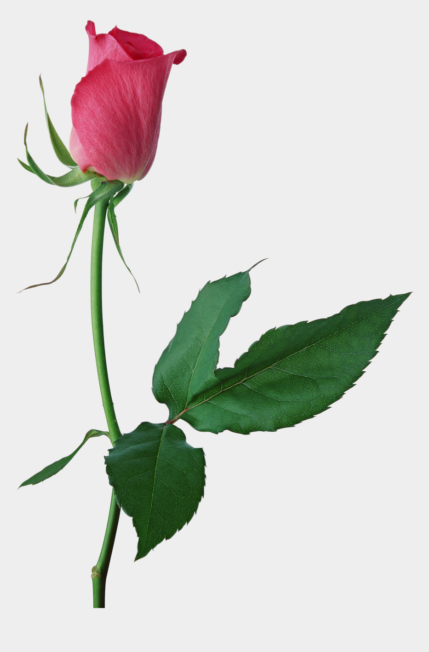 long stem rose clipart, Cartoons - Bud Drawing Rose - Pink Rose Bud Png