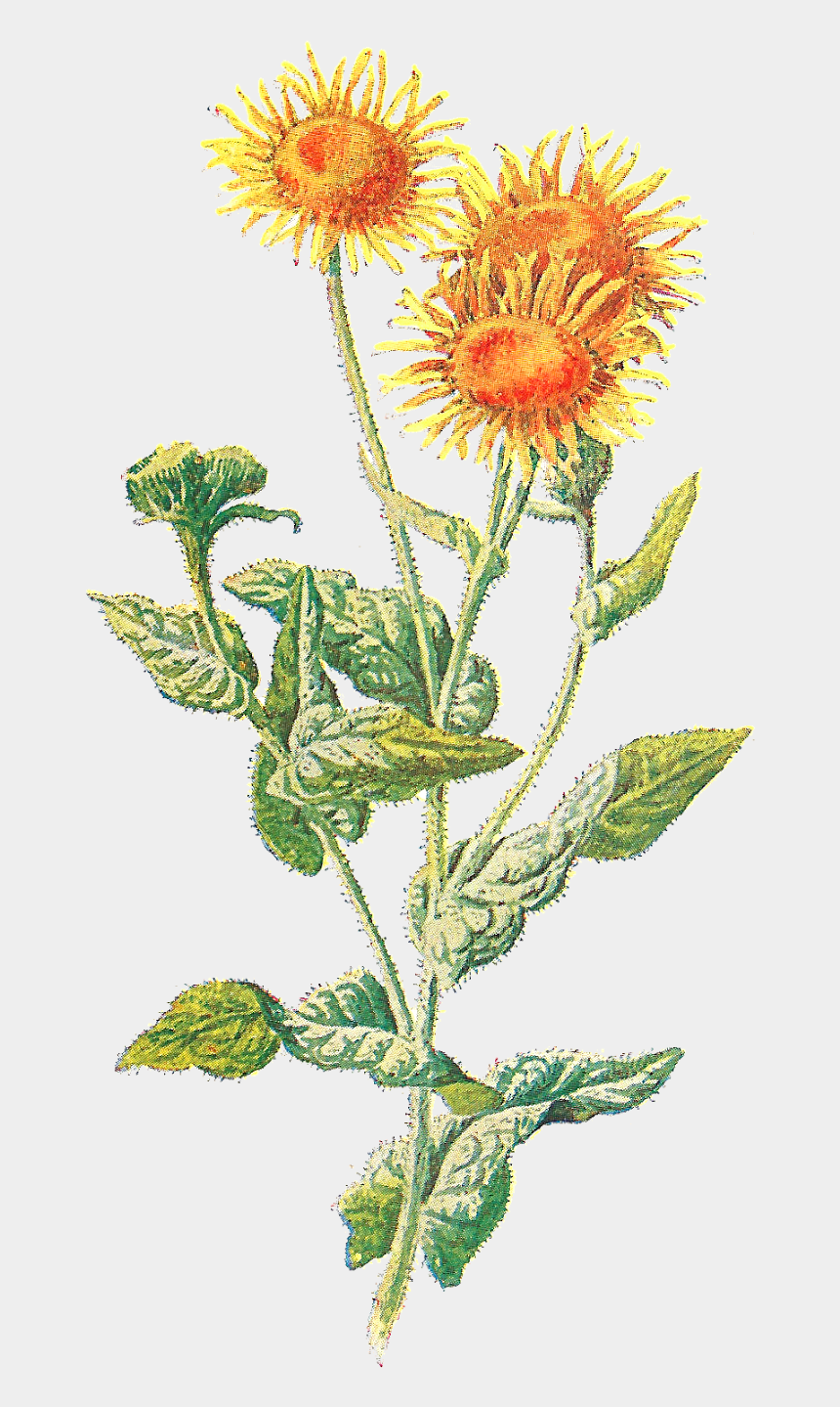 thistle clipart, Cartoons - Wildflower Vector Png Transparent - Vintage Wild Flower Png