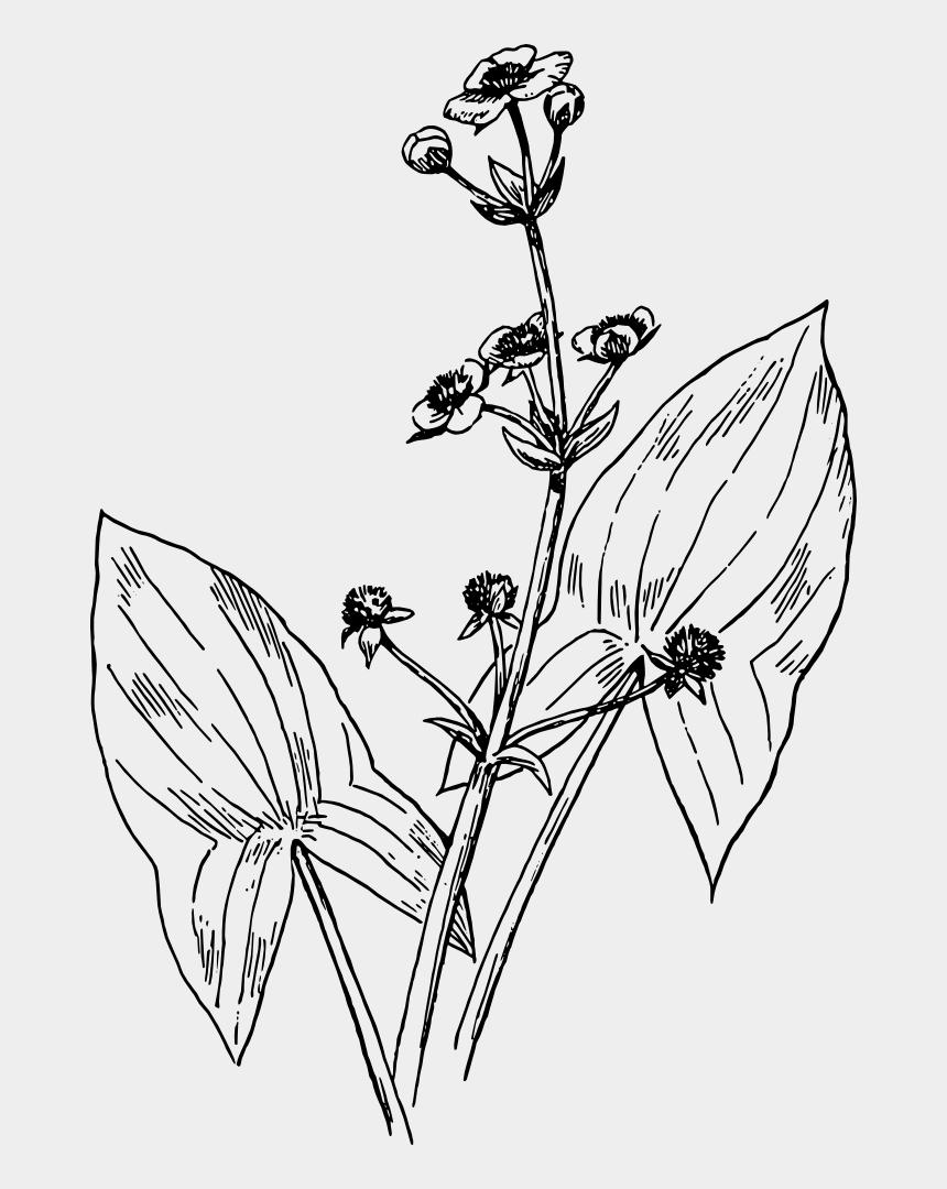 arrow head clipart, Cartoons - Arrowhead Plant Drawing