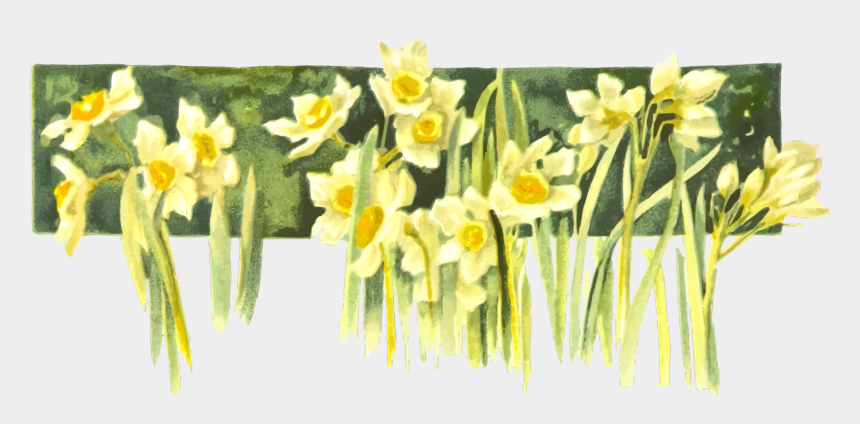 daffodils clipart, Cartoons - Narcissus Drawing Yellow Daffodil - Transparent Transparent Background Daffodil Drawing