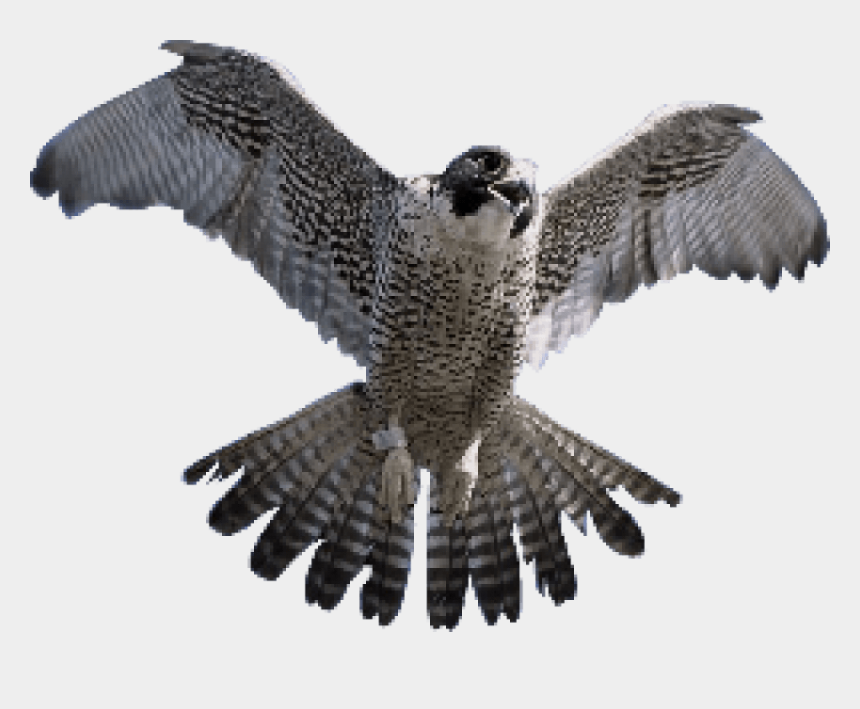 falcon head clipart, Cartoons - Falcon Png Transparent Images - Peregrine Falcon Tail