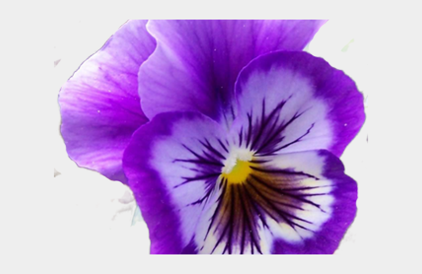 realistic flower clipart, Cartoons - Pansy Clipart Realistic Flower - Transparent Single Pansy Flower
