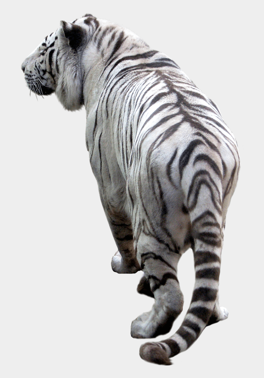 white tiger clipart, Cartoons - White Tiger Back - Transparent Background White Tiger Png
