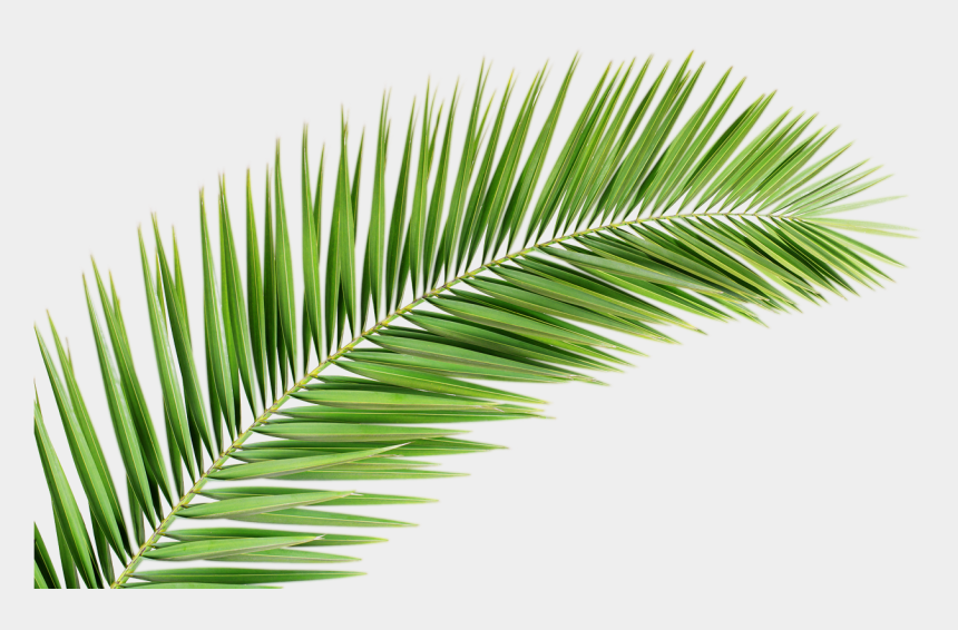 tropical leaf clipart, Cartoons - Palm Fronds Png - Transparent Palm Tree Leaf Png
