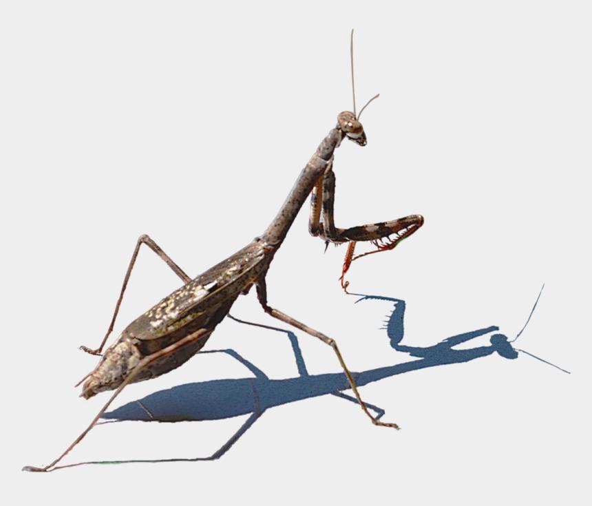 praying mantis clipart, Cartoons - Mantidae