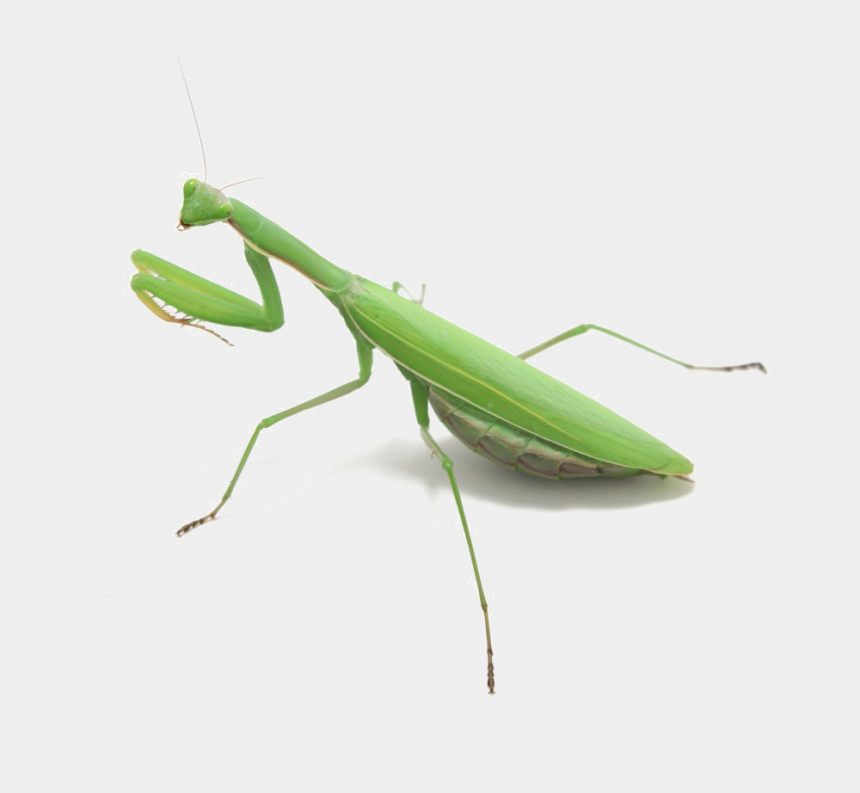 praying mantis clipart, Cartoons - Mantis Png Photo - Mantis Insect