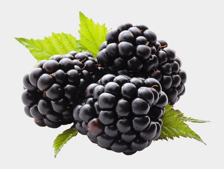 blackberries clipart, Cartoons - Berry Bush Png - Blackberry Fruit Stock