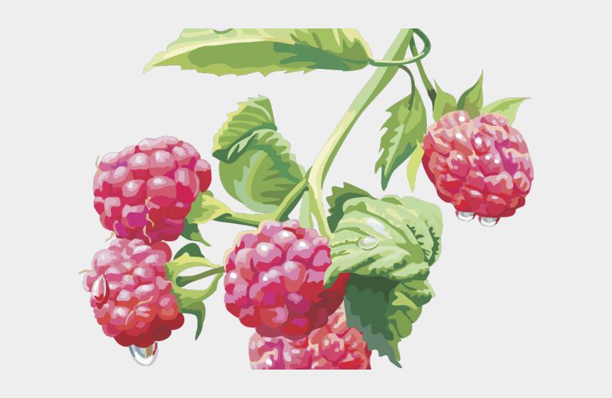 blackberries clipart, Cartoons - Rapsberry Clipart Boysenberry - Raspberry Drawing Png