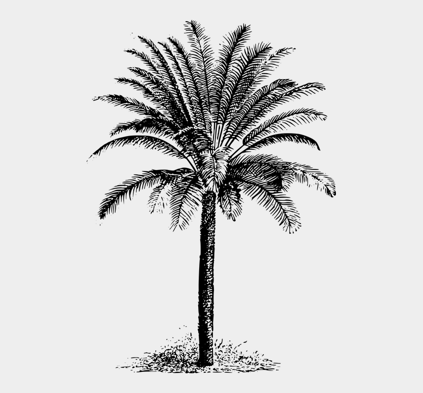 evergreen clipart, Cartoons - Cycad Evergreen Plant Tree - Drawing Dates Palm Tree