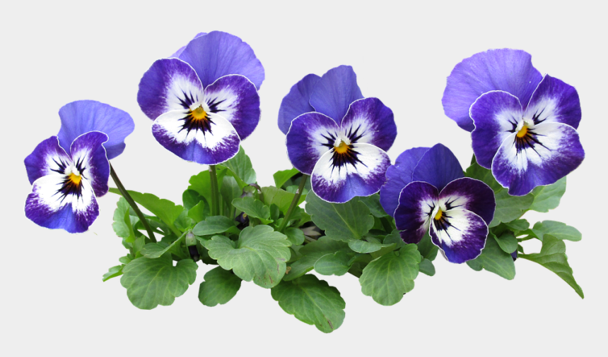 pansy clipart, Cartoons - Flower Bed Png - Pansy Flower Plant