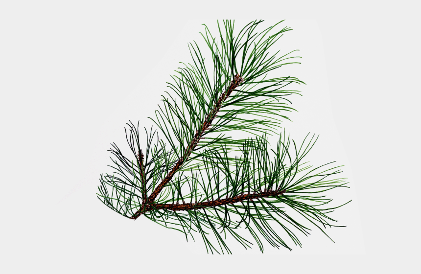 clipart pine tree, Cartoons - Leaf Clipart Pine Tree - Pine Branches Png