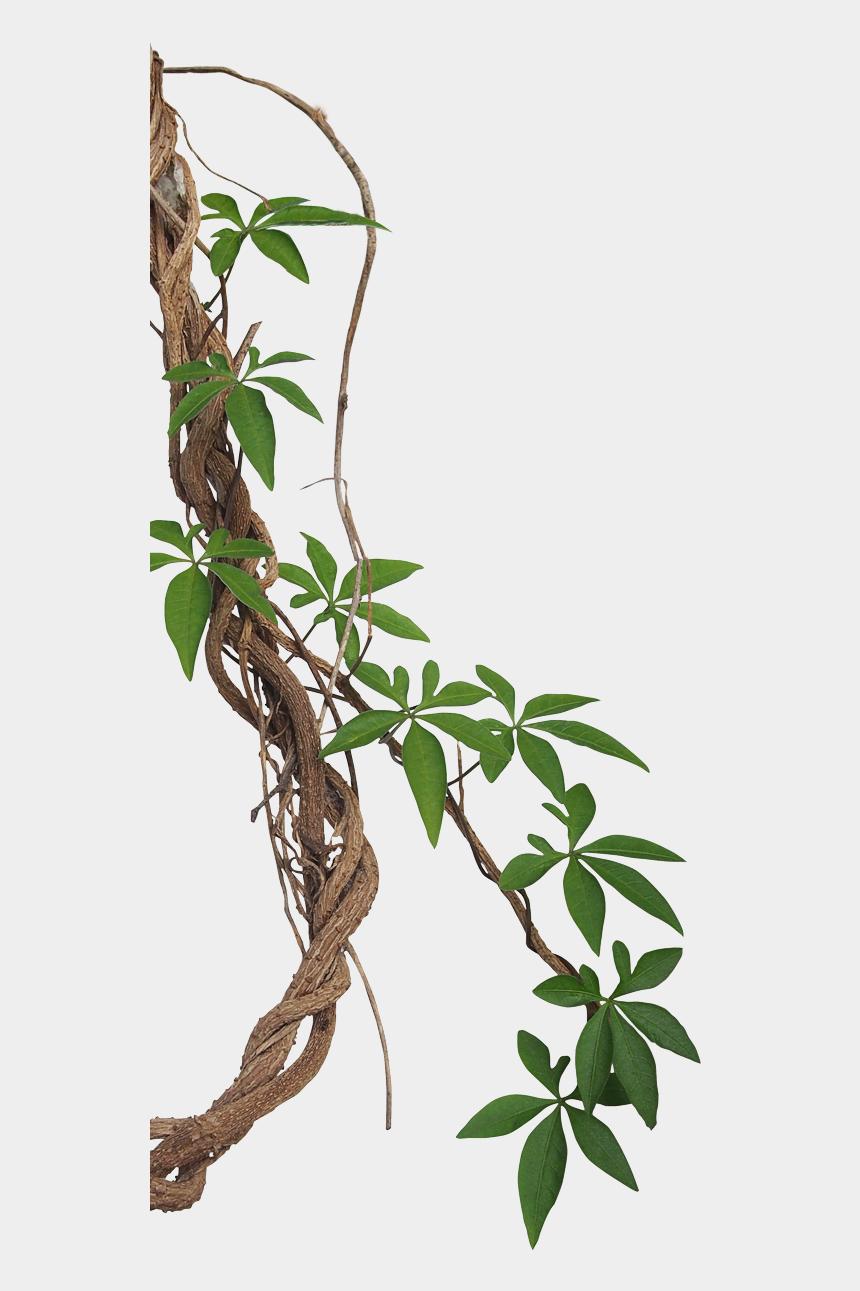 jungle vine clipart, Cartoons - Tropical Photography Vine Liana Jungle Rainforest Stock - Liana Plant