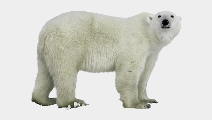 polar bear on ice clipart, Cartoons - Polar White Bear Png - Polar Bear Without Background