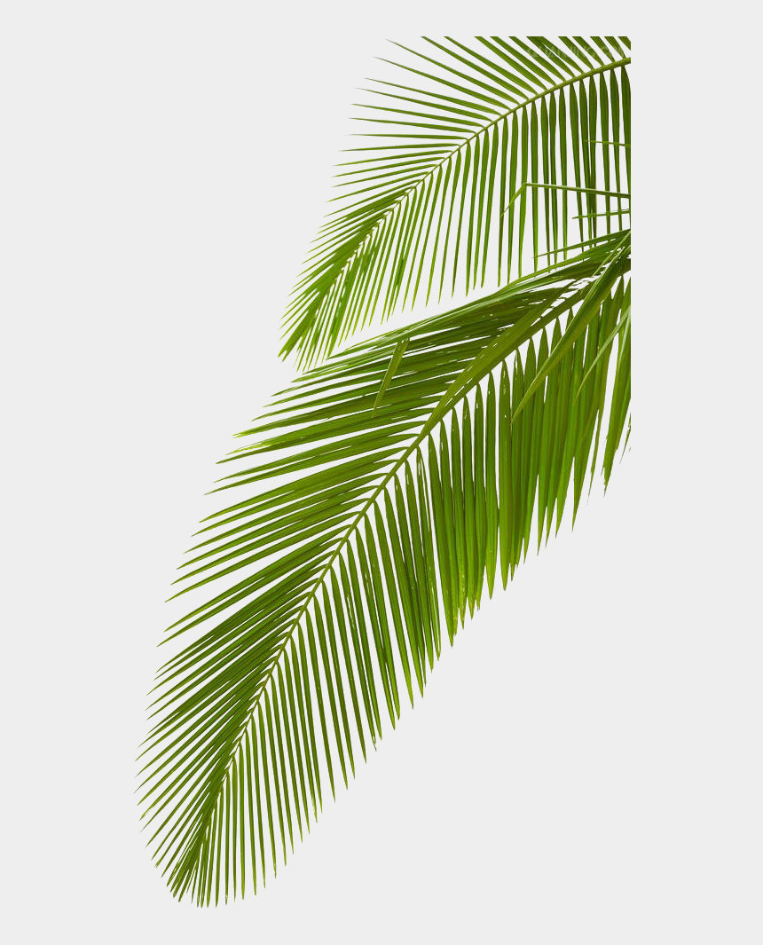 palm leaves clipart, Cartoons - Leaf Photography Royalty-free Arecaceae Palm Branch - Palm Tree Branch Png