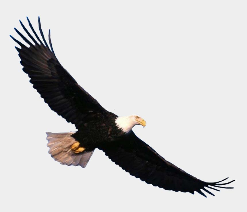 bald eagle clipart, Cartoons - Bird Clipart, Eagle Scout, Free Pictures, Bald Eagle, - Bald Eagle Flying Transparent