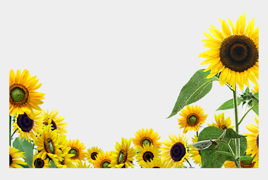 sunflower garden clipart, Cartoons - 15 Sunflowers Png High Resolution For Free Download - Sunflowers With Transparent Background