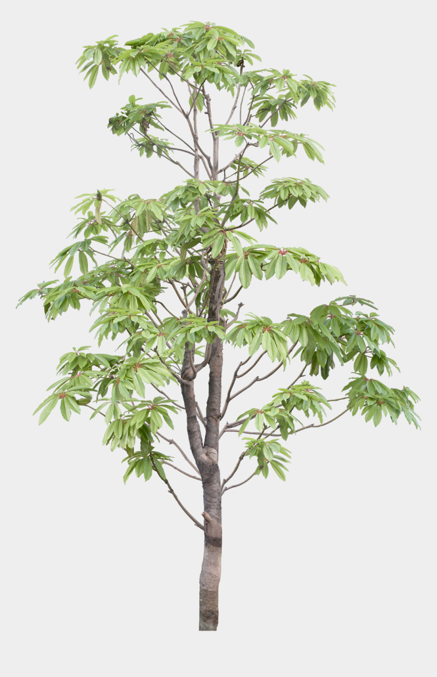 tree branches clipart, Cartoons - #tree #branches #leaves #palm Tree #autumn Tree #tree - White Walnut