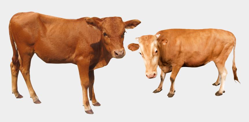 buffalo outline clipart, Cartoons - Cattle Vector Buffalo Indian - Vacas Suizas Png