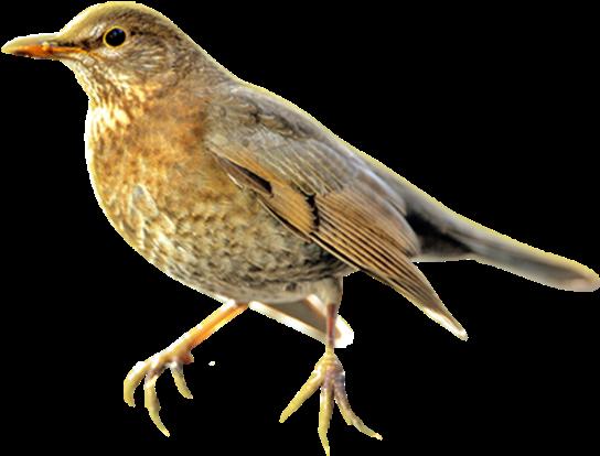 Sparrow Bird Swallow Drawing Sketch Thrush Bird Transparent Transparent Cartoon Jing Fm