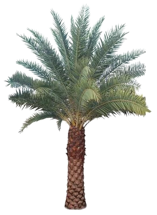 Transparent palm tree clipart png - Palm Tree Transparent Images - Date Palm