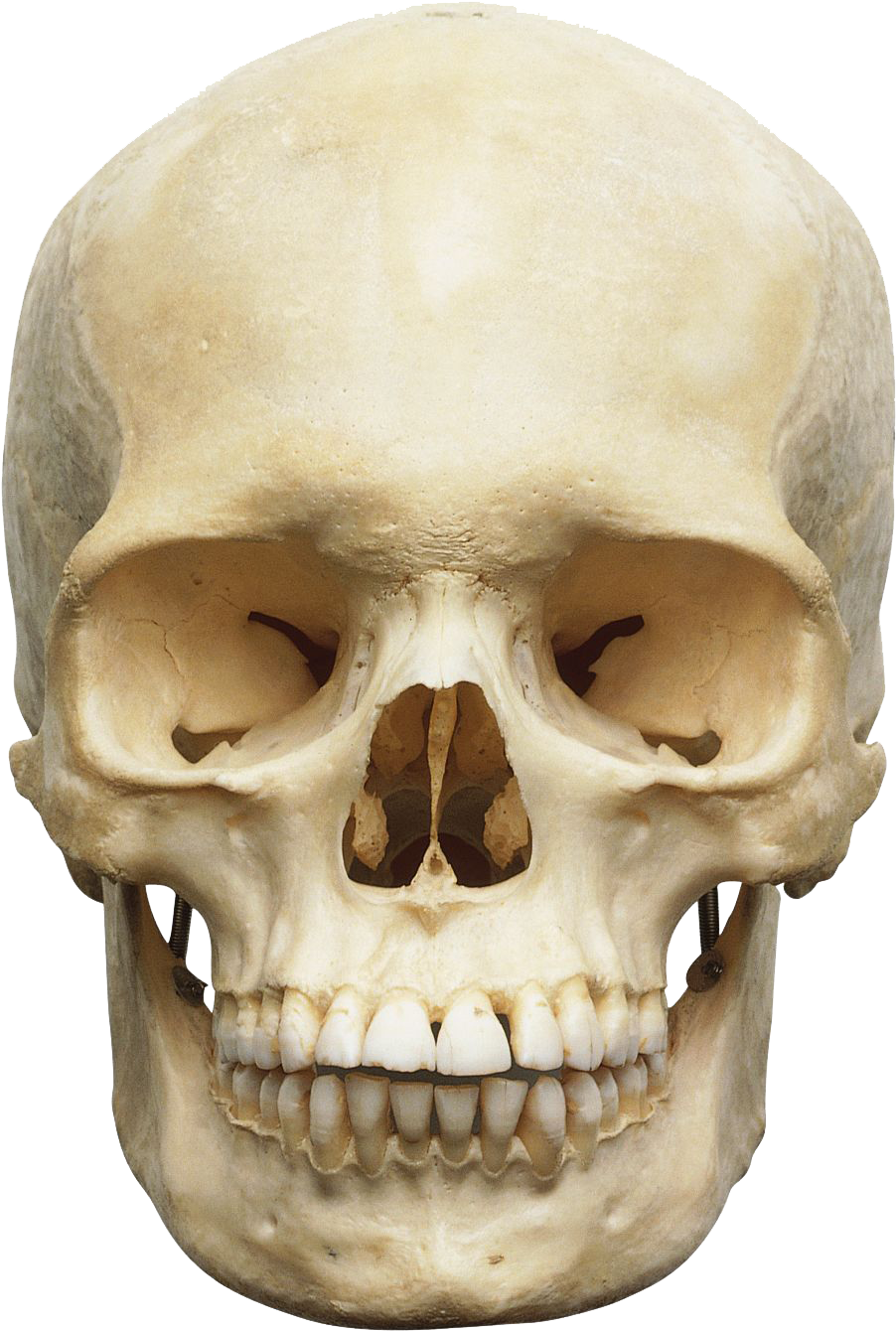 Transparent skeleton head clipart - Skeleton Head Png Image Png Image Skeleton Head Png - Head Skeleton Png