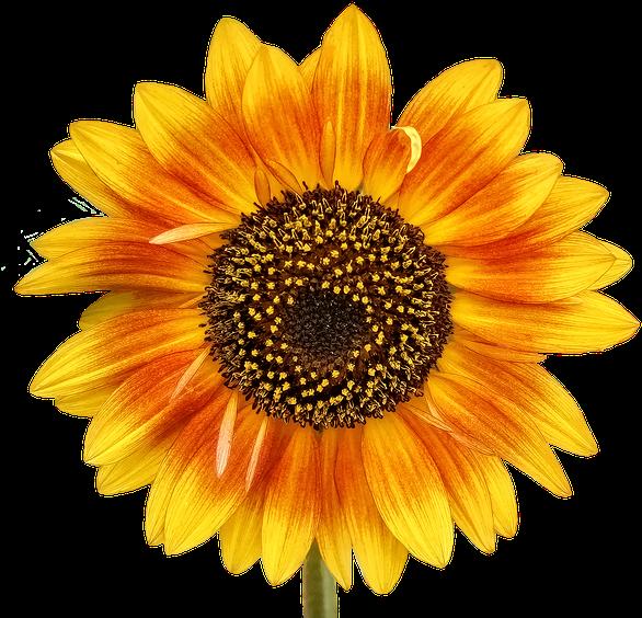 Transparent summer flowers clipart - Com Store, The Sun, The Flowers, Beetle - Stickers Sunflower