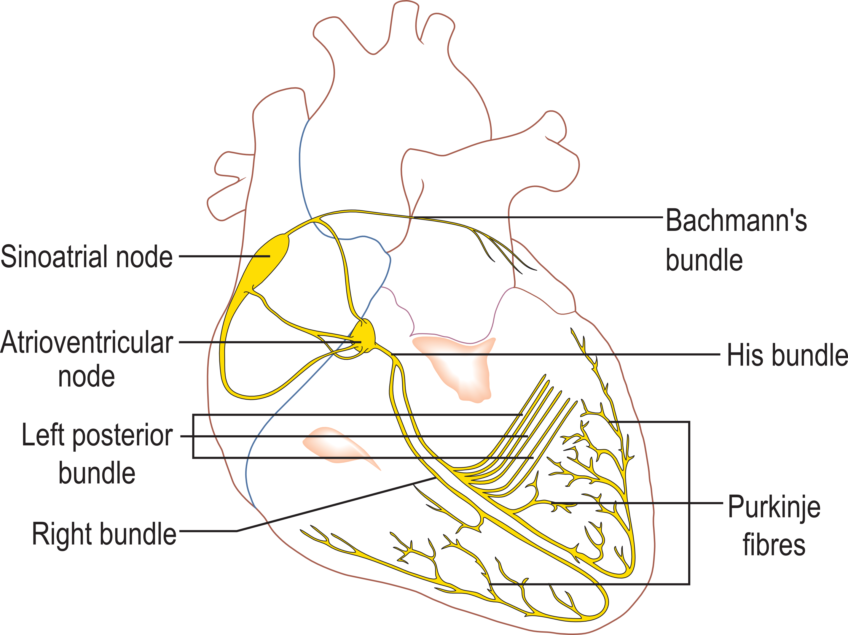Transparent first second third clipart - Conduction System Of The Heart - Specialized Tissues In The Heart