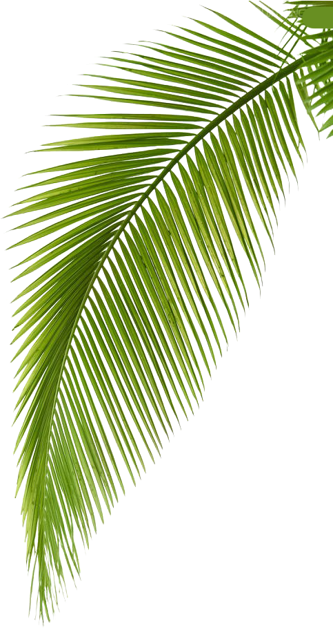 Transparent leaf branch clipart - Palm Arecaceae Photography Leaf Branch Free Hq Image - Palm Tree Leaves Png Transparent