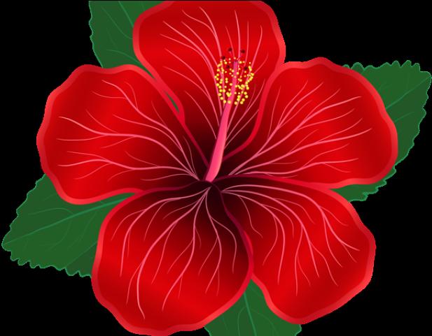 Hibiscus Clipart Shoeflower Red Hibiscus Flower Clipart Transparent Cartoon Jing Fm