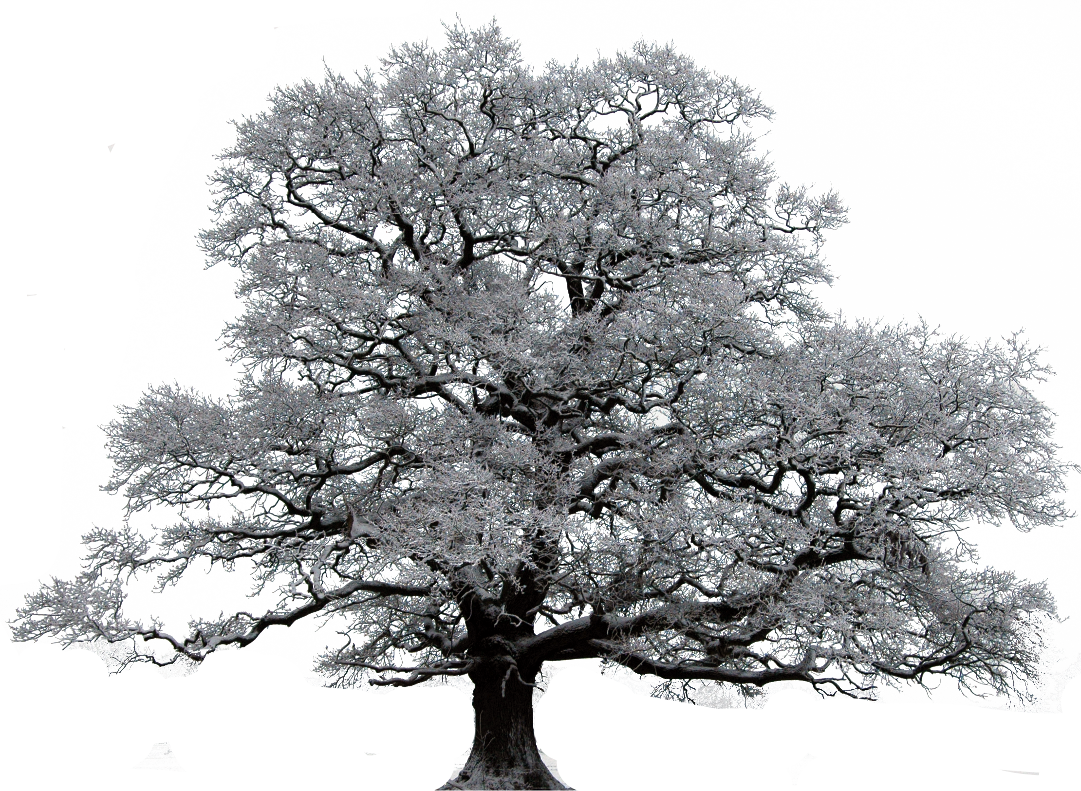 Transparent oak tree clipart - Winter Trees - Tree In Winter Transparent Png