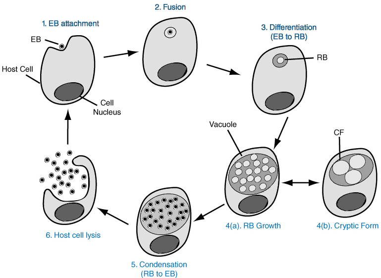 Transparent chlamydia clipart - Chlamydia Png Hd Pluspng - Life Cycle Of S Pneumoniae
