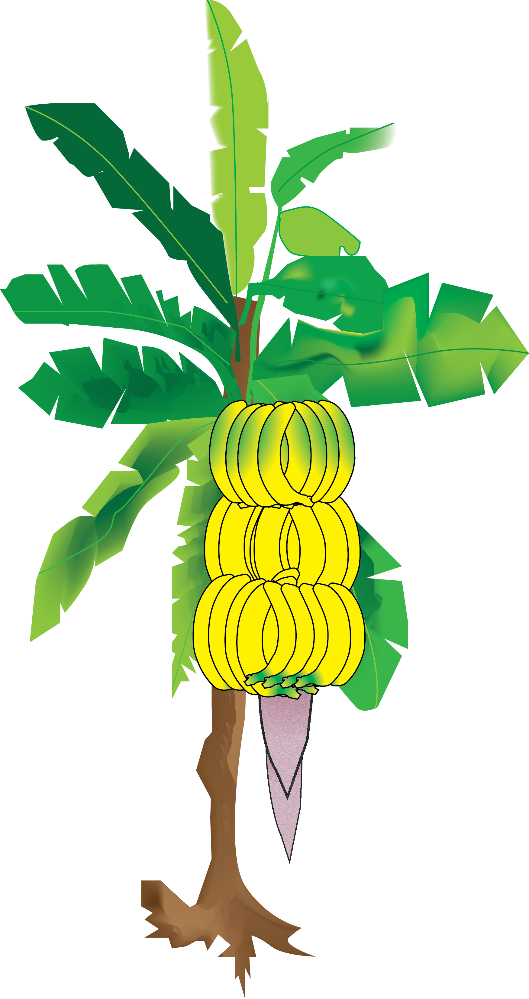 Transparent tropical climate clipart - My Illustration Of The Banana Tree From Sun's Eye An - Banana Tree Digital Painting