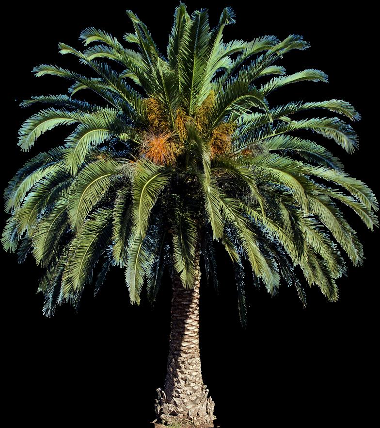 Transparent date palm tree clipart - Interior Rendering, Landscape Art, Palm Trees, Photoshop, - Transparent Background Palm Tree Png