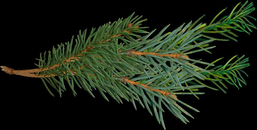 Transparent tree branch clip art - Pine Tree Branch Png