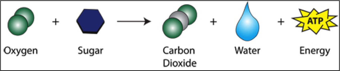 Cellular Respiration Equation Simple Transparent Cartoon Jing Fm